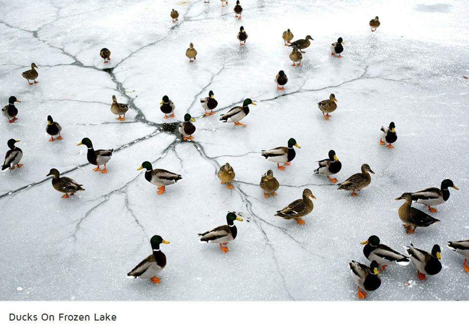 Ducks fleeing America after Trumo wins U.S. Presidency.
