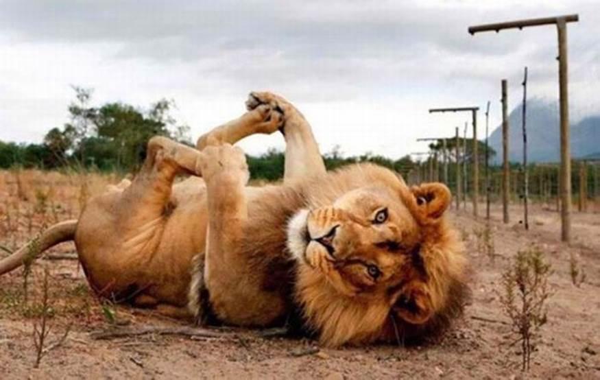Lion takes a selfie lying dow,