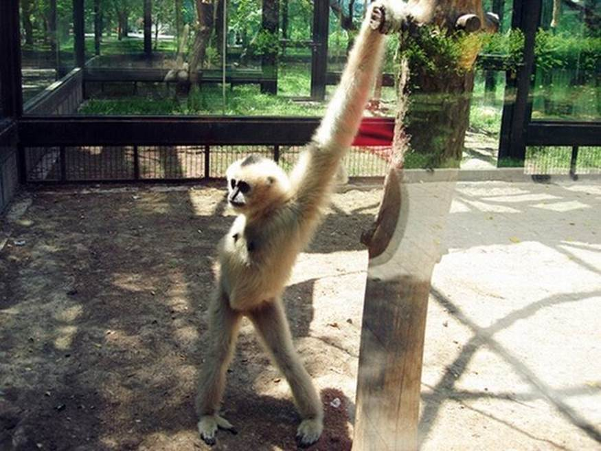 A monkey takes a selfie whikle strutting his stuff.