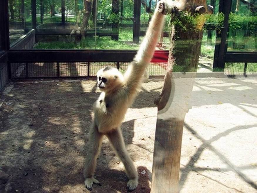 A monkey takes a selfie whikle strutting his stuff.