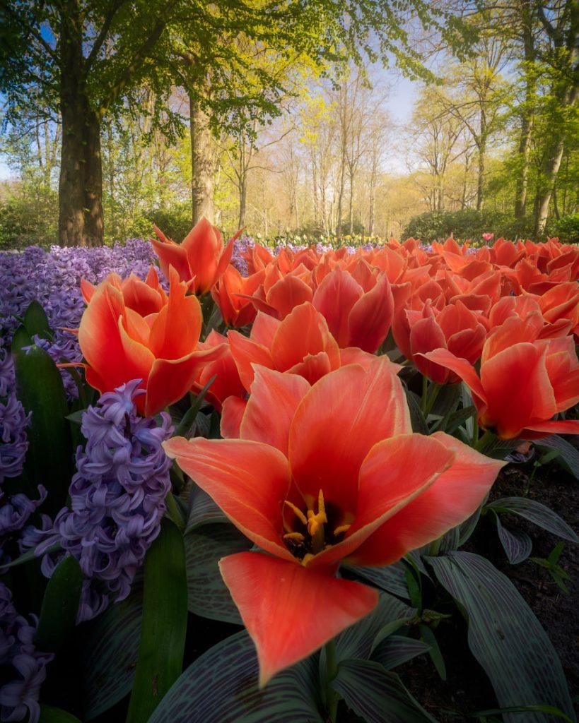 Tulips in Keukenhof Park in the Netherlands.