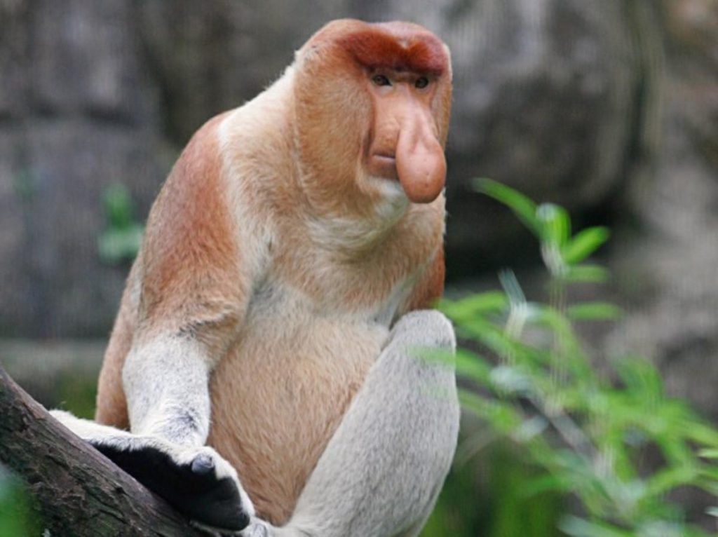 Mother Nature probably created the Probiscus Monkey so the blowfish wouldn't feelhee was the ugliest creature on the planet. They are native to the southeast Asian island of Borneo and  they're is found mostly in mangrove forests and late-night strip clubs nursing beer,