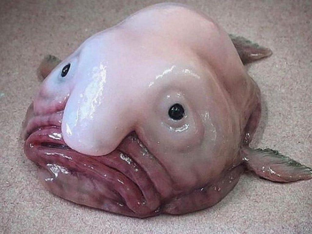 The Blobfish inhabits deep waters off the coasts of mainland Australia and Tasmania.
